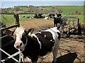 SX2978 : Cattle, Newtown by Derek Harper