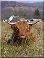 NN5306 : The Obligatory 'Heeland Coo' Photograph by James T M Towill