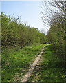 TL4854 : Permissive path with cowslips by John Sutton