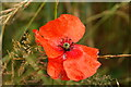 SX8749 : Wild Poppy by S J Dowden