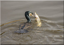 SK7953 : Cormorant and fish, River Trent, Newark by Julian P Guffogg