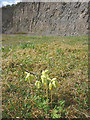 SD4972 : Cowslips, Warton Crag Quarry by Karl and Ali