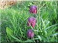 TF0820 : Fritillaria meleagris by Bob Harvey