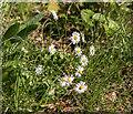 TQ2996 : Wild Daisies, Snakes Lane, London  N14 by Christine Matthews
