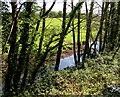 SN6115 : Tree-lined west bank of the Afon Marlas, Llandybie by Jaggery