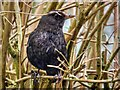 SD7807 : Blackbird (Female) by David Dixon