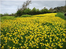 SY1186 : Daffodils by the South West Coast Path leaving Sidmouth by David Purchase