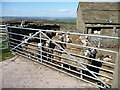 SE0534 : Sheep penned in the farmyard, Upper Bradshaw Head by Christine Johnstone