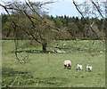 NZ0888 : Ewe and lambs by Russel Wills