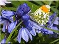 ST3086 : Male Orange Tip butterfly by Robin Drayton