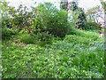 TQ2997 : Primroses, Japanese Garden, Trent Park, Enfield by Christine Matthews