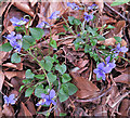 NJ3066 : Common Dog Violet (Viola riviniana) by Anne Burgess