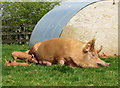 SX0046 : Tamworth pig and piglets; Lost Gardens of Heligan by Gareth James