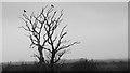 NZ3374 : Two Crows on a Dead Tree by Mick Garratt