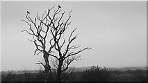NZ3374 : Two Crows on a Dead Tree by Mick Garratt
