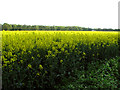 TF7903 : Flowering oilseed rape crop south of Cockley Cley by Evelyn Simak
