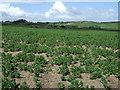 NU1033 : Crop field near Belford by JThomas