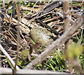 J4967 : Nest and egg, Castle Espie by Rossographer