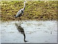 SD7808 : Grey Heron (Ardea cinerea) by David Dixon