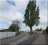 ST9273 : Tree in the middle of a Chippenham road by Jaggery