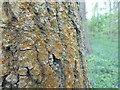 TF0820 : Trentepohlia abietina by Bob Harvey