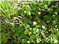 SK9929 : Ranunculus ficaria by Bob Harvey
