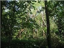 SP2865 : Collapsing trees, northeast corner of Priory Park, Warwick by Robin Stott