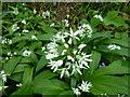 SK9830 : Allium ursinum - flowers by Bob Harvey
