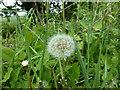 SK9829 : Taraxacum officinale - seedhead by Bob Harvey