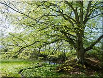 NH5857 : The lochan in Drummondreach Oak Wood by Julian Paren