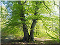 NH5757 : Beech tree in Drummondreach Oak Wood by Julian Paren