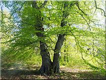 NH5757 : Beech tree in Drummondreach Oak Wood by Julian Paren