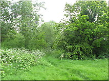 TQ2181 : Woodland by Old Oak Common access land by David Hawgood