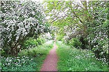 TF1020 : May blossom at Bourne, Lincolnshire by Rex Needle