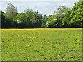 SU8971 : Buttercup field, Winkfield by Alan Hunt