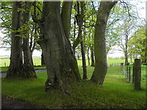 H5472 : Large trees, Bracky by Kenneth  Allen