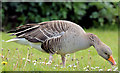 J3675 : Greylag goose, Victoria Park, Belfast - May 2015(2) by Albert Bridge