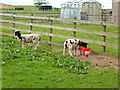 NT9756 : Jacob lambs at Marshall Meadows Farm by Oliver Dixon