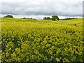 SJ8154 : Rapeseed Field, by disused railway line, Alsager by Rick Crowley