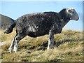 NY2316 : A Herdwick sheep on High Spy by Graham Robson