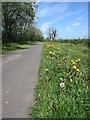 NY4136 : Dandelion delight on this quiet lane by Matthew Hatton