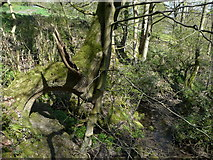 SE0722 : Distorted tree next to footbridge over Maple Dean Clough, Norland by Humphrey Bolton