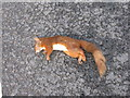 NN6407 : Red Squirrel at Callander by M J Richardson