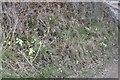 SO0953 : Primroses on the Bank by Bill Nicholls