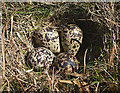 NY7822 : Golden plover eggs, Little Fell by Karl and Ali