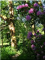 TQ3330 : Rhododendrons, Footpath to Paddockhurst Lane by Simon Carey