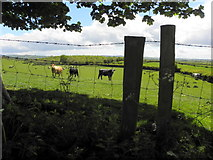 H5572 : Cows behind a wire fence, Bracky by Kenneth  Allen