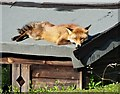 SK3284 : Fox on a Hot Shed Roof - Number 1 by Neil Theasby