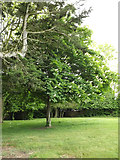 TM3876 : Horse Chestnut Tree at Highfield Residential Home by Adrian Cable