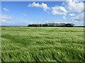 TA0770 : Barley field and shelter belt by Jonathan Thacker